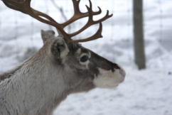Lapland19
