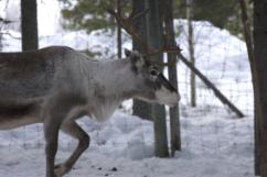 Lapland20